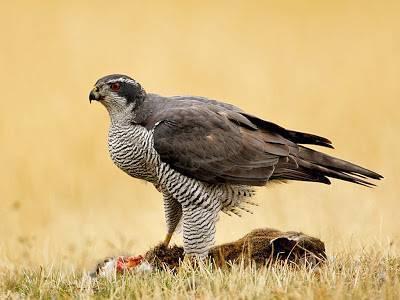 Con suerte podremos ver también animales más esquivos como tejones, azores o halcones peregrinos. En la imagen un azor tras cazar una liebre.